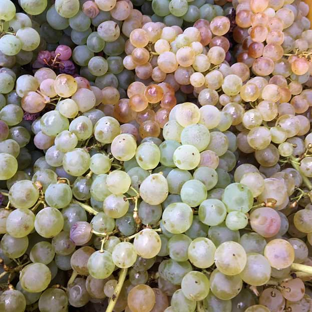 uva-bianca1