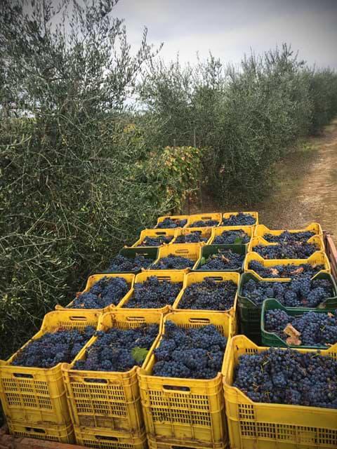raccolta uva poderi sanguineto
